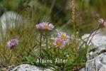 DSC_2467_1_alpine_aster_aa.jpg