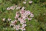 DSC_2473_1_pink_cinquefoil_aa.jpg