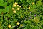 DSC_2475_1_globe_flower_aa.jpg