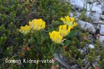 DSC_2489_1_common_kidney-vetch_aa.jpg