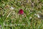 DSC_2492_1_rosy_vanilla_Orchid_aa.jpg
