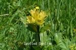 DSC_2553_1_spotted_gentian_aa.jpg