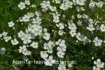 DSC_2558_1_aconite-leaved_buttercup_aa.jpg