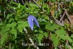 DSC_2681_1_alpine_clematis_aa.jpg