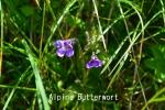 DSC_2698_1_alpine_butterwort_aa.jpg