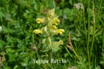DSC_2714_1_yellow_rattle_aa.jpg