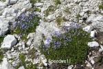 DSC_2872_1_alpine_speedwell_aa.jpg
