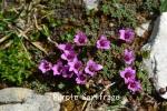 DSC_2998_1_purple_saxifrage_aa.jpg