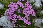 DSC_3108_1_moss_campion_aa.jpg