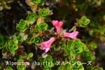 DSC_3203_1_hairy_alpenrose_aa.jpg