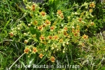 DSC_3292_1_yellow_mountain_saxifrage_aa.jpg
