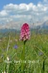 DSC_3315_1_rose_vanilla_orchid_aa.jpg