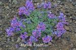 DSC_3326_1_alpine_toadflax_aa.jpg