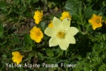 DSC_3418_1_yellow_alpine_pasque_flower_aa.jpg