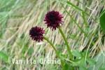 DSC_3449_1_vanilla_orchid_aa.jpg