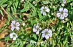 DSC_3580_1_alpine_gupsophila_aa.jpg