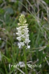 DSC_3671_1_fragrant_orchid_white_aa.jpg