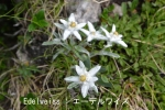 DSC_3686_1_edelweiss_aa.jpg