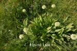 DSC_3817_1_alpine_leek_aa.jpg