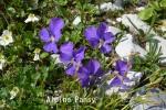 DSC_4171_1_alpine_pansy_aa.jpg