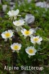 DSC_4200_1_alpine_buttercup_aa.jpg