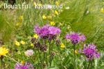 DSC_4221_1_doubtful_knapweed_aa.jpg