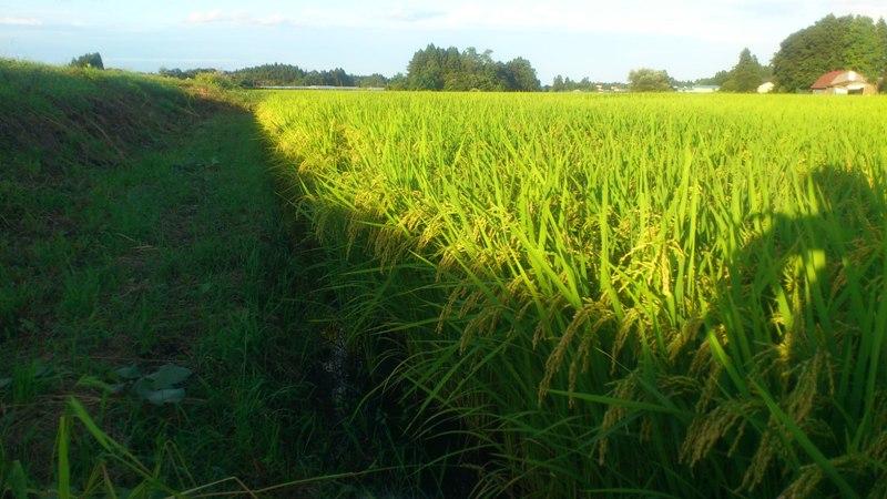 Rice110906