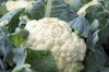 cauliflower-1465732__180.jpg