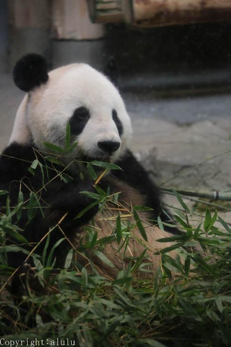 上野動物園 ジャイアントパンダ