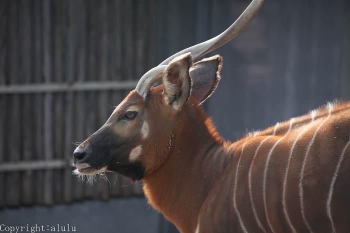 ボンゴ 動物写真 世界四大珍獣