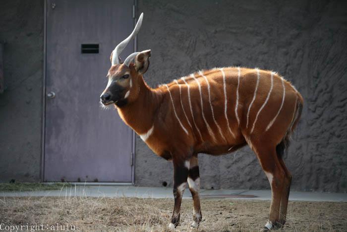ボンゴ 東山動物園