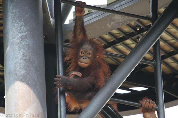 ボルネオオランウータン 動物園