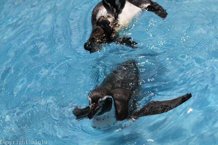 フンボルトペンギン 動物園
