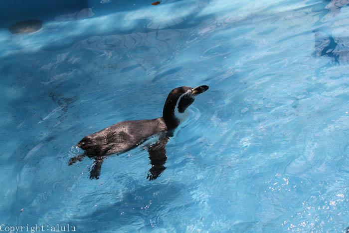 フンボルトペンギン 画像
