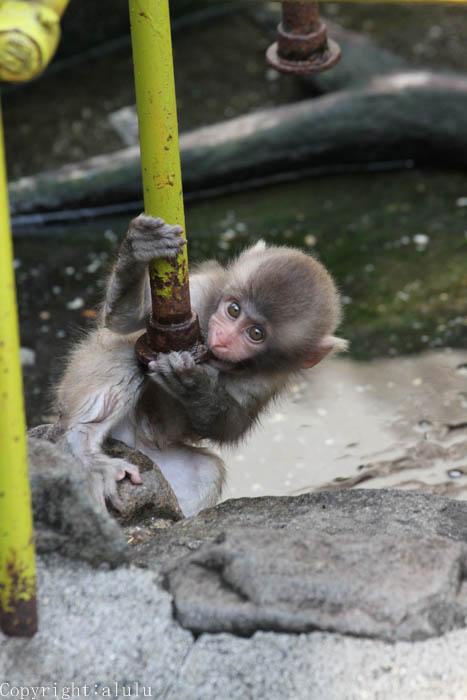 サル 赤ちゃん