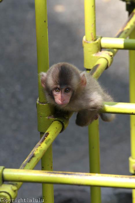 ニホンザル 茶臼山動物園