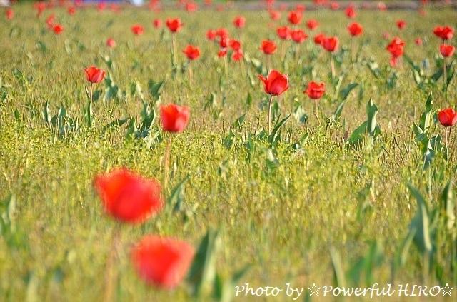 チューリップ畑 (4)