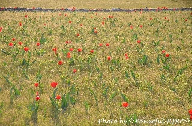 チューリップ畑 (3)