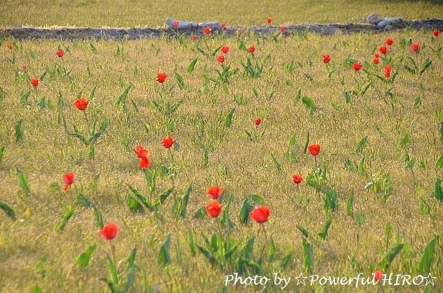 チューリップ畑 (6)