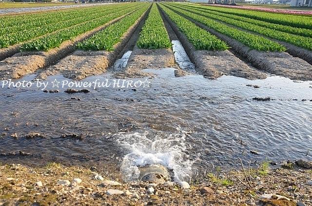 チューリップ畑 (2)