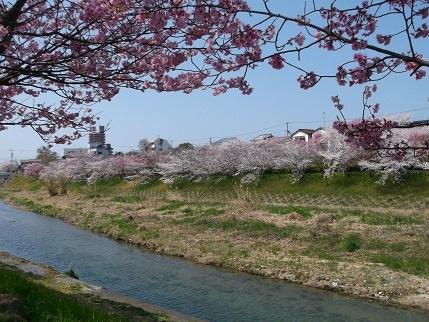 土手並木桜