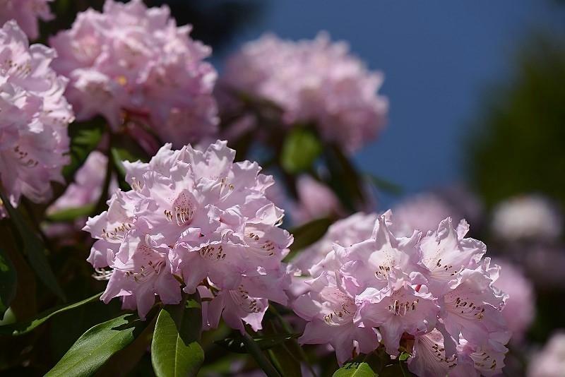 石楠花12