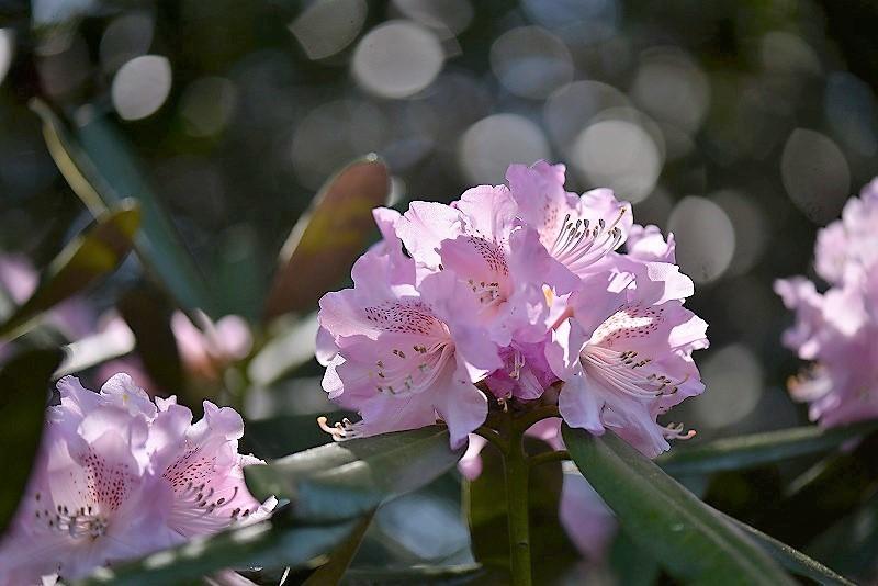 石楠花13