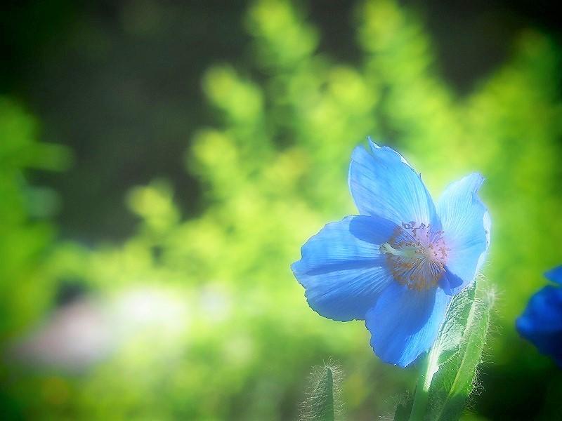 ヒマラヤの青いケシ2