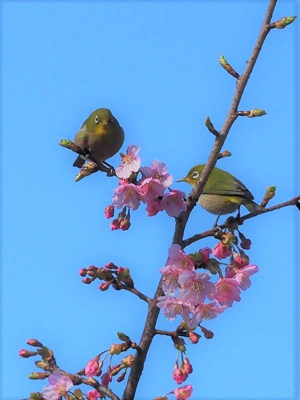 河津桜とメジロ7t