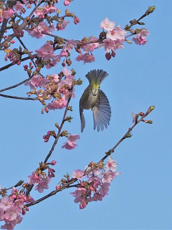 河津桜とメジロ6t