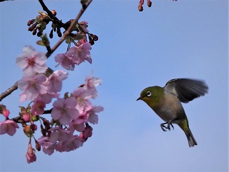 河津桜とメジロ9