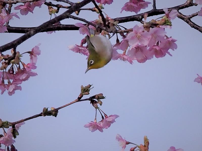 河津桜とメジロ8