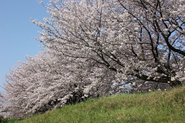 2018.4 桜6