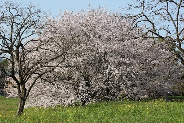 2018.4 桜5